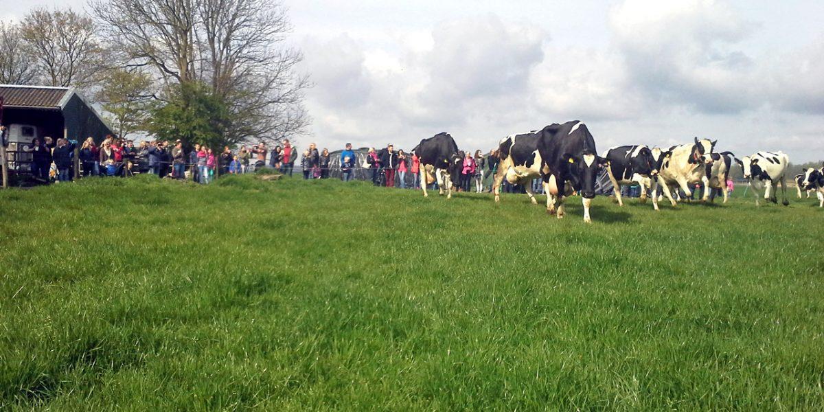 Boerderij Zuiderham voorjaarsdans van de koeien